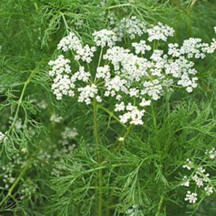 Caraway, 30-50 seeds per packet
