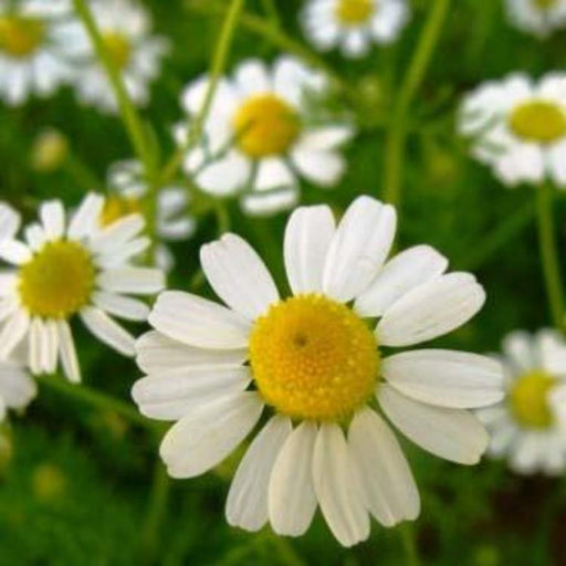 Chamomile - German, 75-100 seeds per packet