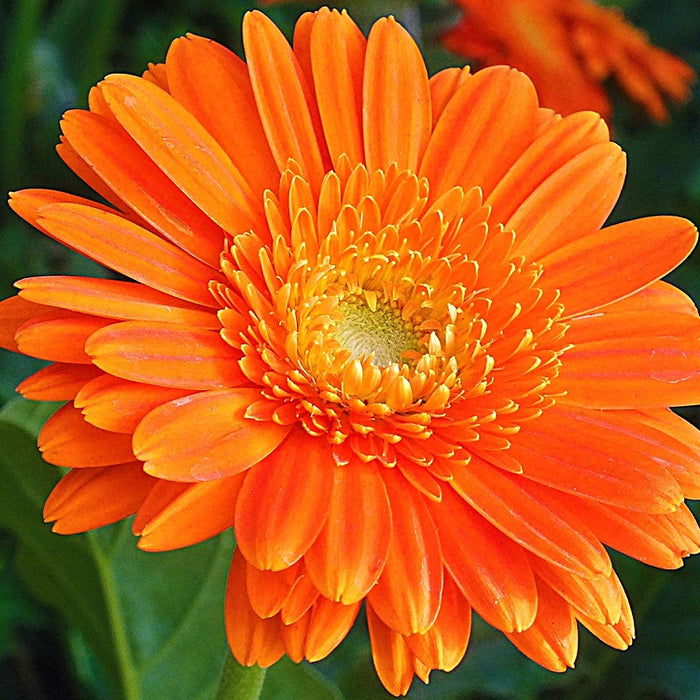 Calendula, 10-25 seeds per packet