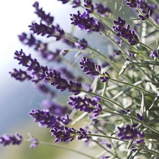 Lavender - Munstead, 10-25 seeds per packet