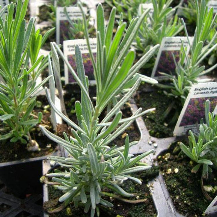 Lavender - English Spike, 10-25 seeds per packet