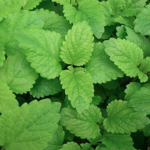 Lemon Balm, 30-50 seeds per packet