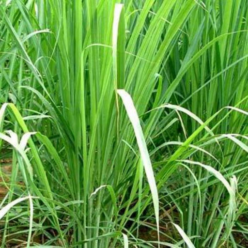 Lemongrass, 10-25 seeds per packet