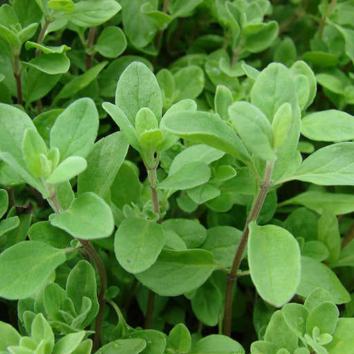 Marjoram - Sweet, 30-50 seeds per packet