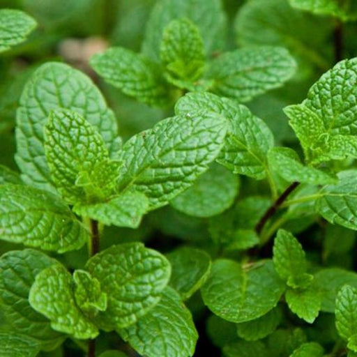 Spearmint, 30-50 seeds per packet