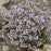 Thyme - French, 30-50 seeds per packet