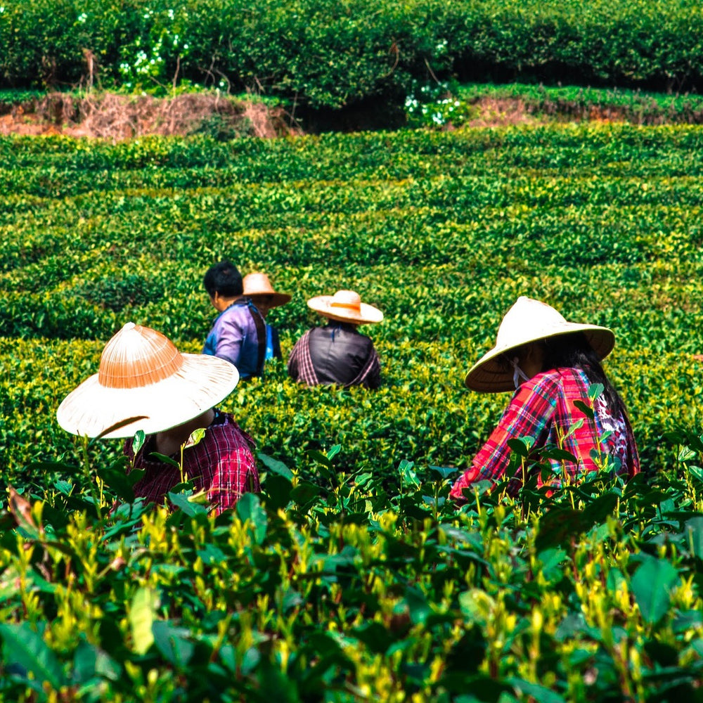Fujian China Tea Farm partner with Chaadao
