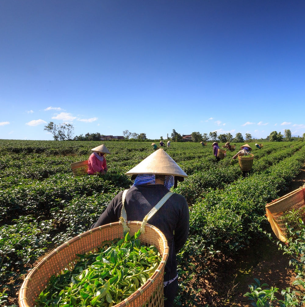 Yunnan Tea Farm partner with Chaadao