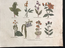 1814 ~ Complete Herbal Nicholas Culpeper Hand-Colored Herb Botanical Engraving