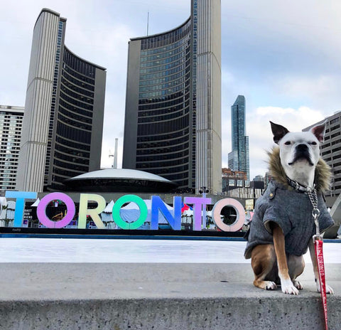 Photo of dog and toronto sign at toronto city hall. Photo features toronto leash and Beans the Toronto Terrier