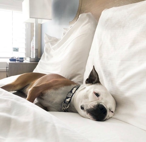 Dog in hotel bed in the best toronto dog friendly hotel