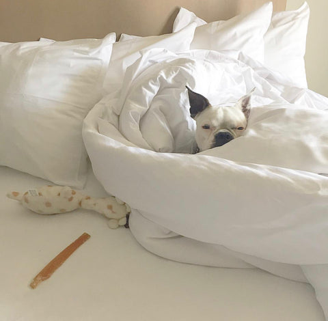 dog in whitel hotel bed sheets in Toronto dog friendly hotel