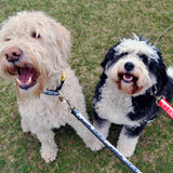 Doodle and Bernadoodle with Toronto leashes and collars from Bone and Bred