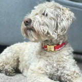 Wheaten terrier dog wearing Toronto dog collar from Bone and Bred