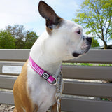 Pink martingale dog collar with Toronto pattern on Boston Terrier