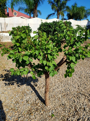 Apricot Tree - Prunus Armeniaca