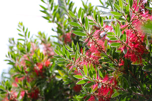 Callistemon Tree