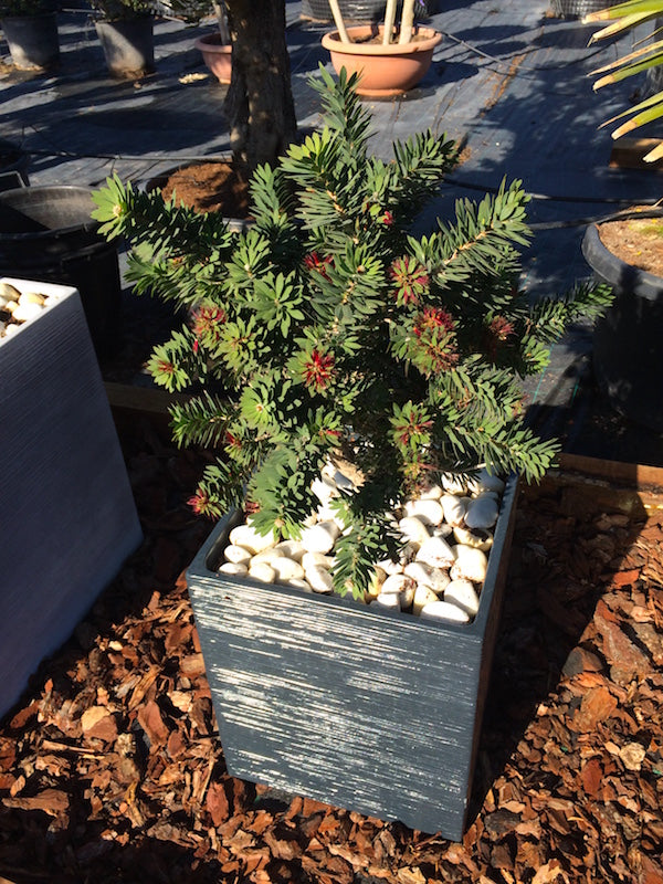 "Callistemon ""Little John""  + Decorative pot"