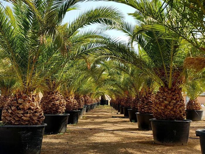 Canary Palm // Phoenix Canariensis