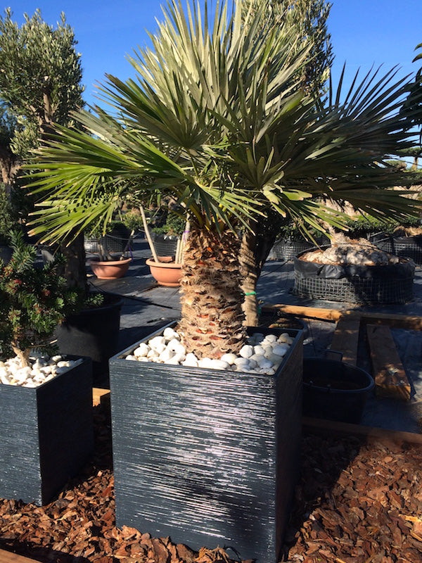 Chamaerops Humilis + Decorative pot