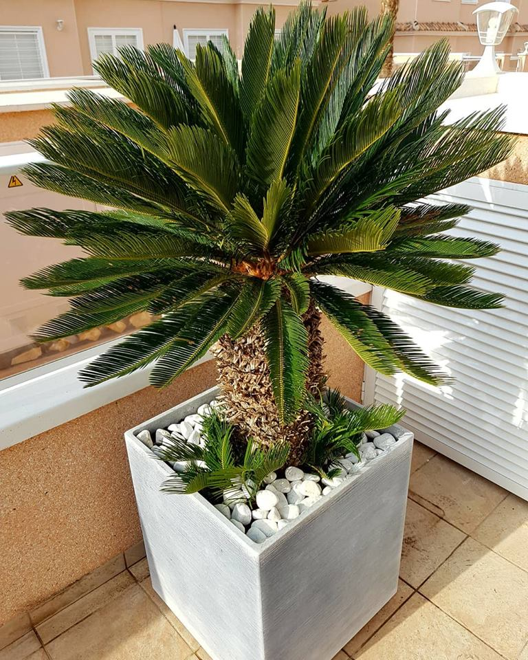 Cycas Revoluta + Decorative pot