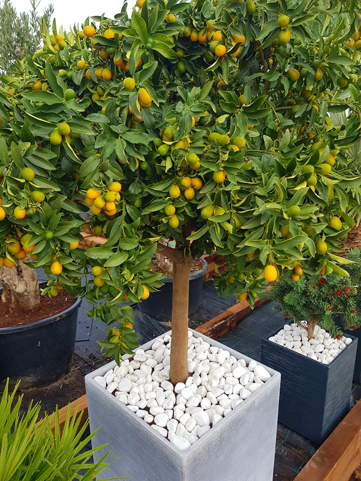 Kumquat + Decorative pot