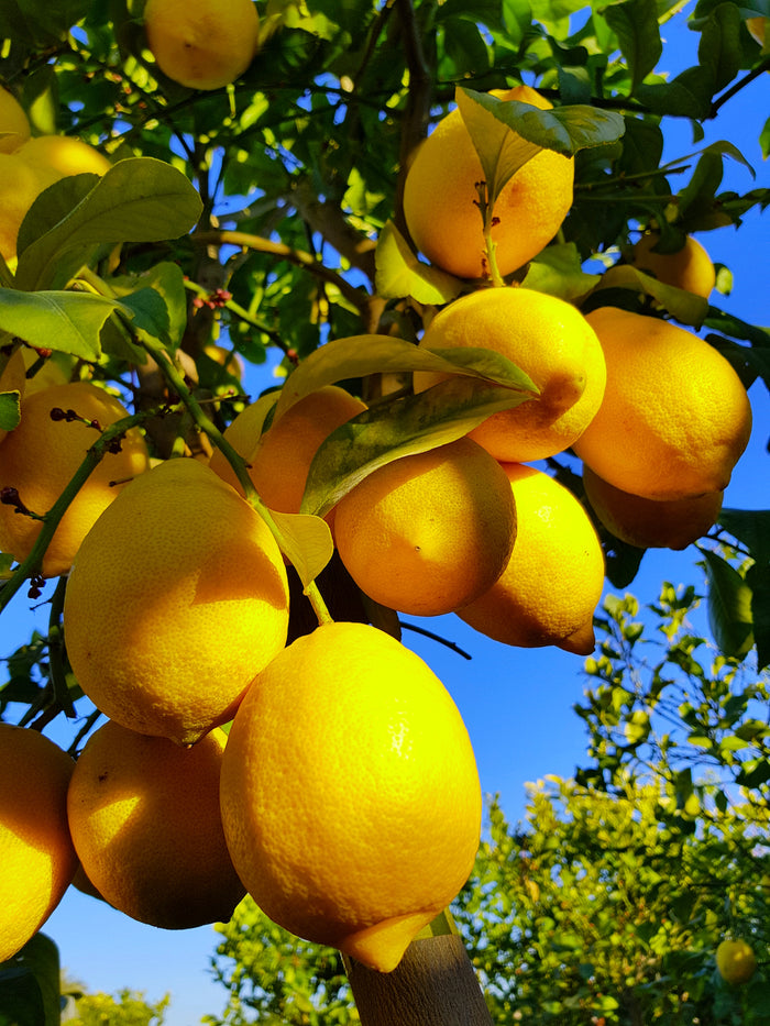 Lemon Tree // Citrus Limon