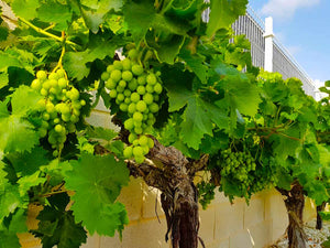 Moscatel Grape Vine // Vitis Vinifera