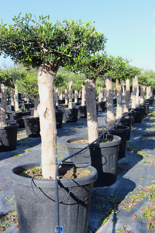Olive Tree Table Shape // Olea Europaea