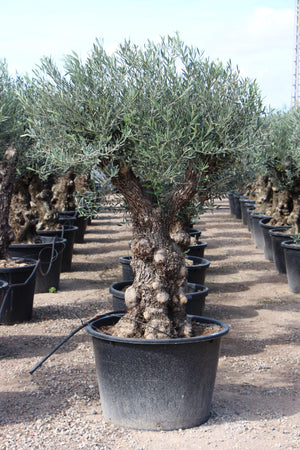 Olive Tree Bonsai // Olea Europaea