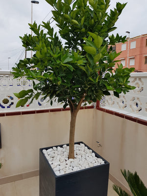 Big Orange Tree + Decorative pot
