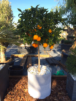 Orange Tree + Decorative pot