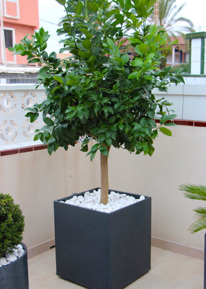 Big Lemon Tree + Decorative pot