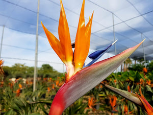 Bird of Paradise // Strelitzia Reginae