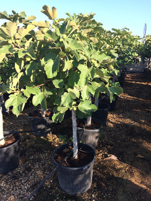 Fig Tree // Ficus Carica