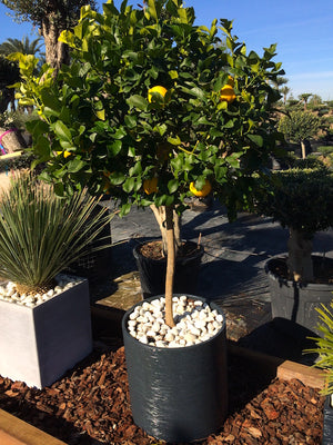 Lemon Tree + Decorative pot