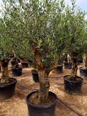 Branched Olive Tree // Olea Europaea