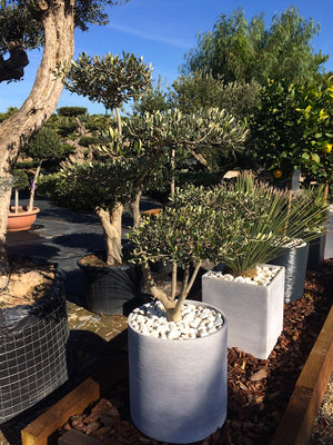 Olive tree in decorative pot