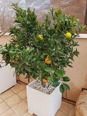 Orange Tree // Citrus Sinensis
