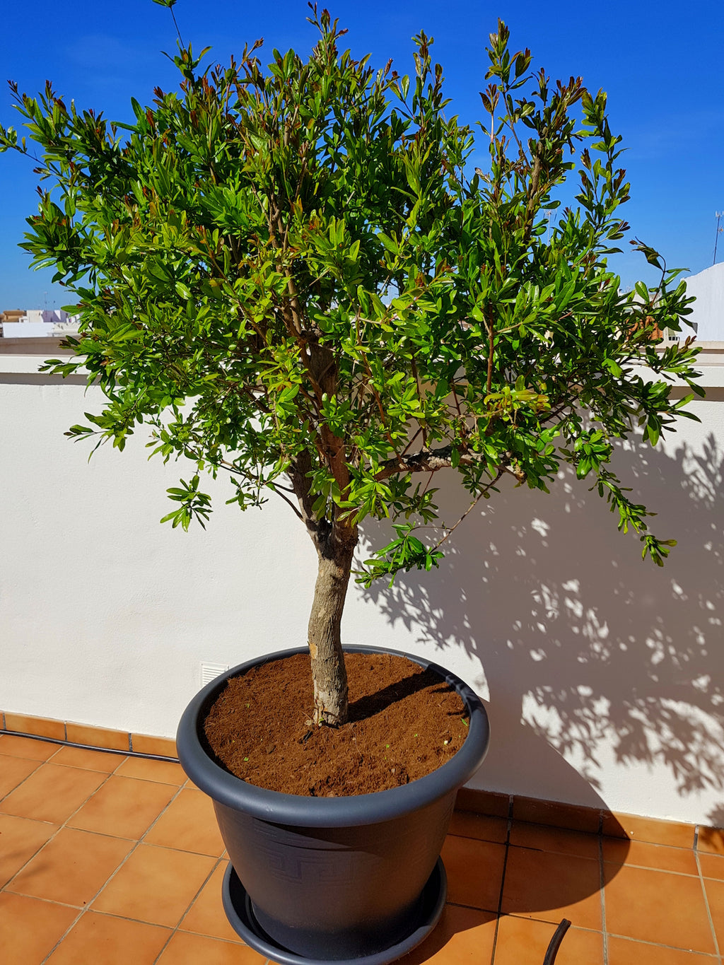 Pomegranate Tree // Punica Granatum