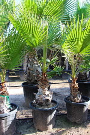 Washingtonia Palm // Washingtonia Robusta