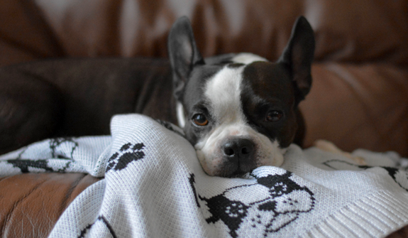 Ultra-Soft-blanket-frenchie-for-dogs-english