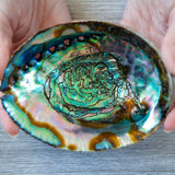 Abalone Shell, Large 5in+
