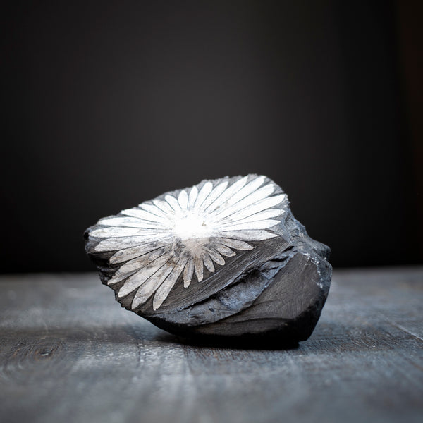 This is a large, Chrysanthemum Stone specimen with a large, full white flower draped over a charcoal black stone.