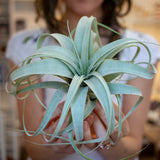 Tillandsia Air Plant, Large, 5in Curly Leaf