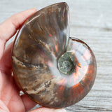 Opalized Ammonite Fossil