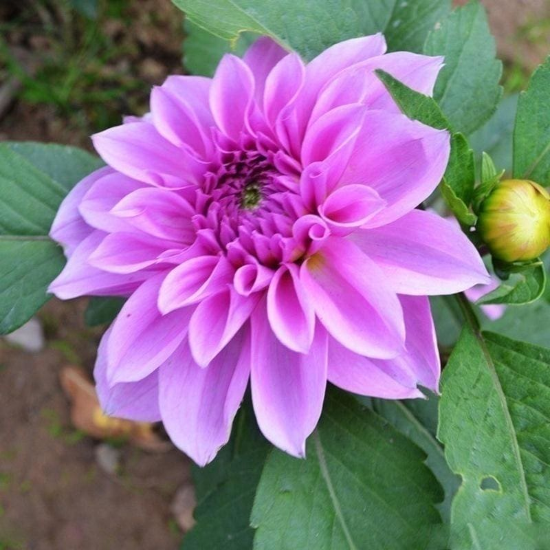 Blue /& White Dahlia Flower Seeds 100 SEEDS -BUY 4 ITEMS FREE SHIPPING