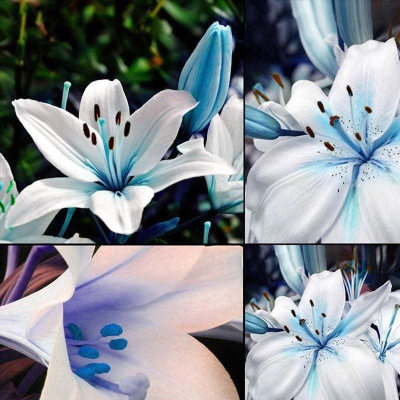 100pcs//bag rare lily seeds,not lily bulbs,it is seed,bonsai lily flower seeds