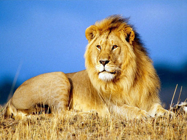 Diamond Painting Agressive Lion on Grass - OLOEE