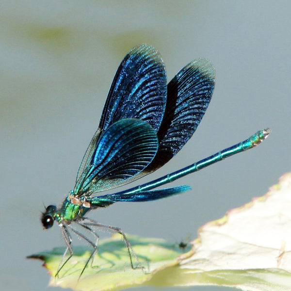 Diamond Painting Blue Dragonfly - OLOEE